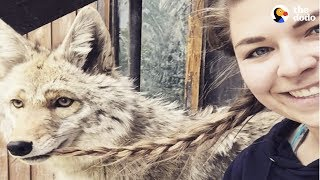 Download Rescued Wolf Dogs Find Perfect Home at Wolfdog Sanctuary | The Dodo Video