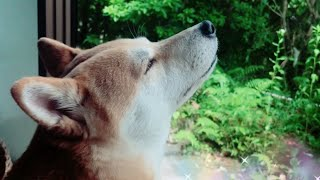 Download 犬は車の音がしなくても飼い主の帰宅に気付く?Dog and cat waiting for owner to get home Video