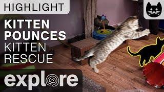 Download Kitten Pounces! - Kitten Rescue Live Cam Highlight 10/07/17 Video