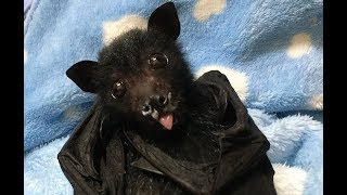 Download Baby flying-fox has his first fruit: this is Liquorice Allsorts Video