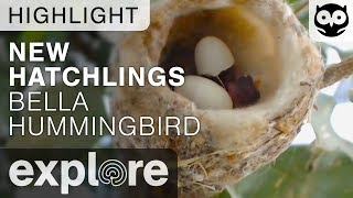 Download Bella Humming Birds New Hatchlings - Live Camera Highlight Video