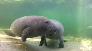 Download Meet the Manatees of Blue Spring Video