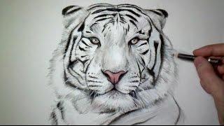 Download Comment dessiner un tigre [Tutoriel] Video