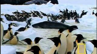 Download Emperor Penguins Feeding - McMurdo Sound Video