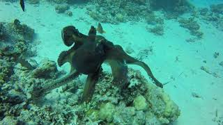 Download octopus versus tiger snake eel - Red Sea - Egypt - hurghada Video