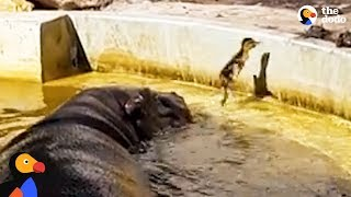 Download Hippos Help Duckling Reunite With Mom | The Dodo Video