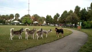 Download Husky takeover at the Dog Park Video