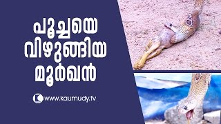 Download OMG ! The Cobra that swallowed a cat | Snake Master EP 244 | Kaumudy TV Video