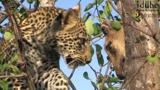 Download Leopard And Cub - Life Outside The Bushcamp - 19: Cub With A Duiker Kill Video