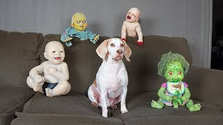 Download Cute Dog vs Zombie Babies Halloween Prank: Cute Dogs Maymo & Potpie Video