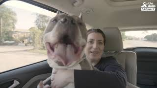 Download Senior Pittie Is So Happy To Finally Have A Family - ZOLTAN | The Dodo Adoption Day Video