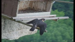 Download Great Spirit Bluff Falcon Cam ~ Fledgling Flies To The Nest Box First Time! 6.22.17 Video