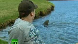 Download Killer sharks invade... golf course in Australia Video