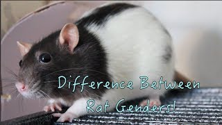 Download Difference Between Rat Genders! Video