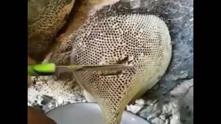 Download (Wild Honey in Oman)(العسل البري في سلطنة عمان) Video