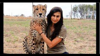 Download Cheetahs Raised By Meerkats?! - Volunteer Southern Africa Video