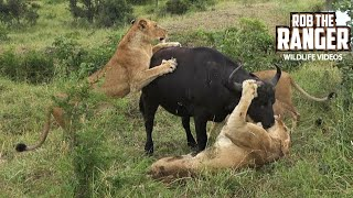 Download Lion Pride Catches A Buffalo, But When The Herd Returns - SO EMOTIONAL!!! Video
