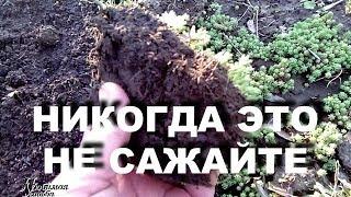 Download Никогда не сажайте это растение в своих цветниках Очиток едкий - культурный сорняк Video
