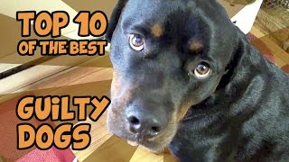 Download THE TOP 10 GUILTIEST GUILTY DOGS OF ALL TIME Video