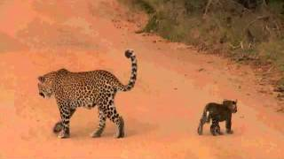 Download Safari Live : Karula and her two cub's as seen on drive today April 26, 2016 Video