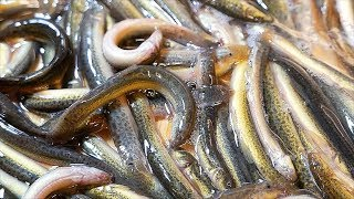 Download Japanese Food - WORM FISH HOTPOT Fried Loach Tokyo Seafood Japan Video