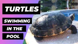 Download Turtles At The Pool 🔴 Tortugas En La Piscina - Exotic And Aquatic Turtles - Tortugas De Agua Fría Video