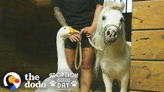 Download Rescued Goose, Mini Horse Are Inseparable — Watch Them Get Adopted Together | The Dodo Adoption Day Video