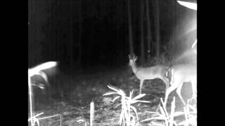 Download Unknown creature goes through woods caught on deer cam Video