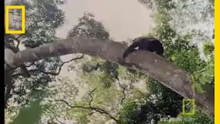 Download Chimps Hunting in Trees | National Geographic Video