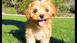 Download Farrah the absolute PERFECT Ruby Red Cavapoo Puppy for Sale! Video