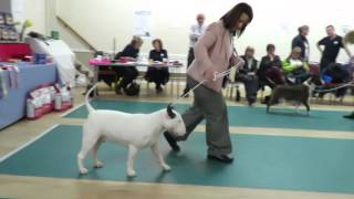 Download Championship Show March 2016 West of England Bull Terrier Club Open Dog Video