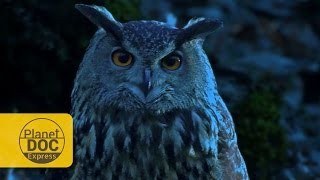 Download Eagle Owl: Night Vision | Planet Doc Express Documentaries Video