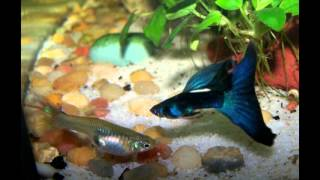 Download How to breed guppies step by step Video