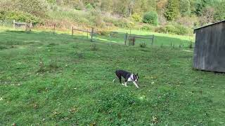 Download Bud Is Home. He Goes To work With The Border Collies In The Field Video