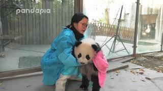 Download Panda keeper wipes the cub Video