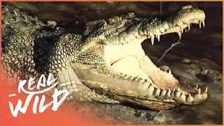 Download Crocodile Island [Australian Crocodile Documentary] | Wild Things Video