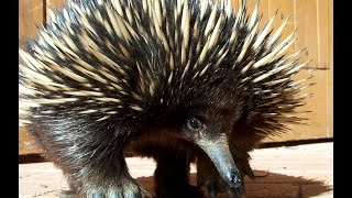 Download Echidna - My animal friends - Animals Documentary -Kids educational Videos Video