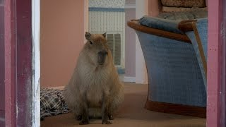 Download Gari the Capybara Puts the 'Cute' in - 'Rodent'? Video