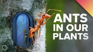 Download We've Got Ants In Our Plants! Video