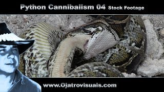 Download Python Cannibalism 04 Stock Footage Video