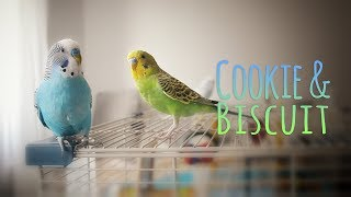Download My budgie is obsessed | Vlog #9 Video