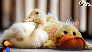 Download Rescue Duck Loves His Stuffed Duck | The Dodo Video