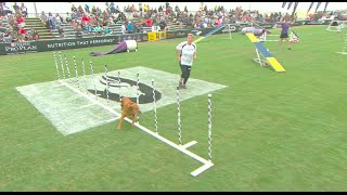 Download Large Dog Agility Competition - 2016 Purina® Pro Plan® Incredible Dog Challenge® Western Regionals Video