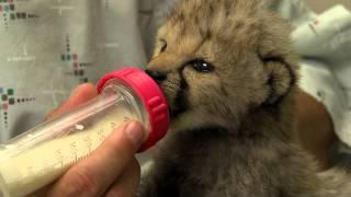 Download Cheetah Cub in Nursery - Cincinnati Zoo Video