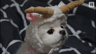 Download 인형 아님, 강아지 맞음 ㅣ 모델견 지두부 Video
