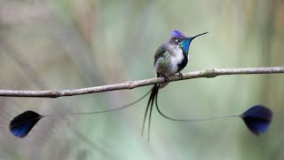 Download Peru Wildlife: Marvelous Spatuletail and Other Animals Video