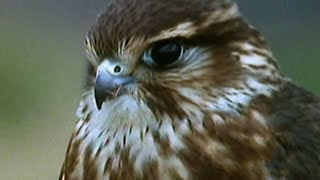 Download Secret Nature - Facts About Birds of Prey 🦅 | S01E05 | Bird Documentary | Natural History Channel Video