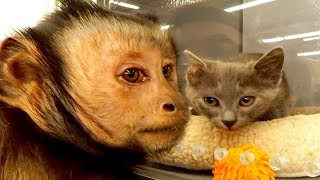 Download Capuchin MonkeyBoo Shops at PetSmart! Video