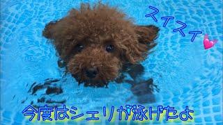 Download 2回目のプールとシェリの上達✨トイプードルのロージー・シェリ・ジェム Video