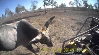 Download Bull catching in far north Queensland Video